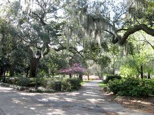 Savannah Live Oaks